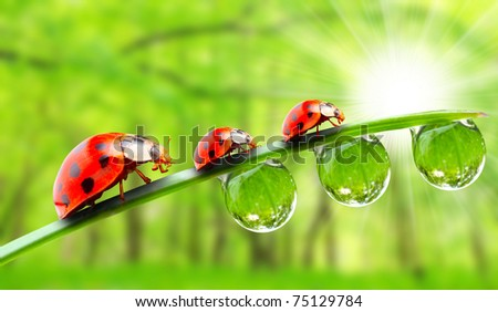 The ladybugs family running on a dewy grass. - stock photo