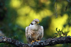 The lanner falcon (Falco biarmicus) sitting on a branch in a very dense tree. The little falcon camouflages itself in the middle of the leaves.