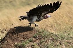 The lappet-faced vulture takeoff, Masai Mara, Kenya