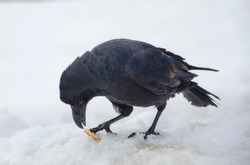The large-billed crow,Asian spices of jungle crow.leave in colonize