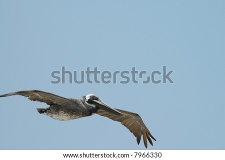 The large brown pelican is an endangered species.
