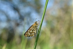 The large chequered skipper (Heteropterus morpheus). Large skipper butterfly in grass