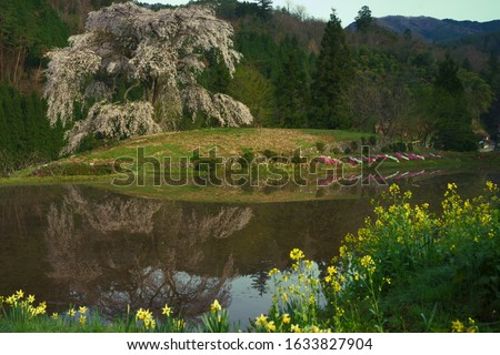 The large cherry tree (与一野のしだれ桜) and the canola flowers in countryside of Hiroshima, Japan. ストックフォト ©