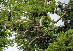 The large Colony of Flying Foxes, Fruit Bats, or Mega-Bats feed on nectar, pollen and fruit. Endemic Kind of Bats in Pemba island, Zanzibar Archipelago, Tanzania