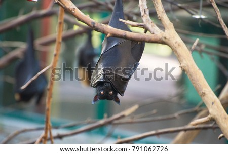Shutterstock The large flying fox (Pteropus vampyrus), also known asMalayan flying fox, Malaysian flying fox, large fruit bat, kalang or kalong.  Hanging on a branch upside down. Burning eyes.