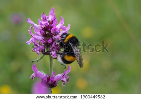 The large garden bumblebee or ruderal bumblebee (Bombus ruderatus) , beatiful photo Stock photo ©