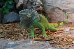 The large green iguana squints its eyes with a long tail. Lizard. Animal Planet. Exotic critters. Beautiful skin