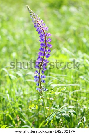 The Large-leaved Lupine (Lupinus polyphyllus) is beautiful summer flower with very toxic (psychedelic) alkaloids.