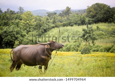 The large mammals of Asia are searching for food in the pastures in summer. #1499704964