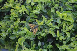 The Large skipper (Ochlodes Sylvania) is a butterfly of the family Hesperiidae. lepidoptera arthropoda. The upperside of the wings  is orange-brown with a brown border and some  lighter spots.