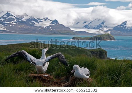 The largest bird of the southern Ocean, the magnificent giant wandering Albatross nests at South Georgia #655212502