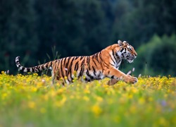 The largest cat in the world, Siberian tiger, Panthera Tigris altaica, running across a meadow full of yellow flowers. Impressionistic scene of the top predator in a nature.