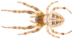 The Larinioides suspicax is a species of orb weaver in the spider family Araneidae. Dorsal view of spider Larinioides suspicax isolated on white background.