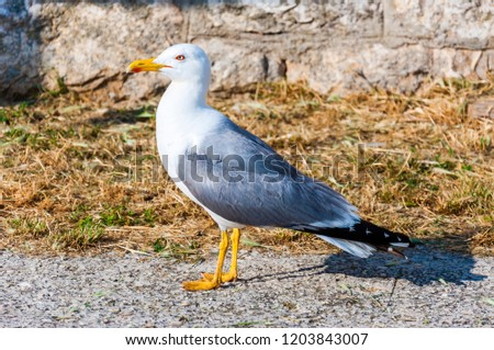 The Larus Argentatus or the European herring gull is a large gull up to 65 cm long. One of the best known of all gulls along the shores of western Europe, it was once abundant. #1203843007