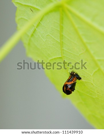 The larva of a ladybug on a green leaf