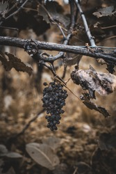 The last dry grape vine isolated on the grapevine