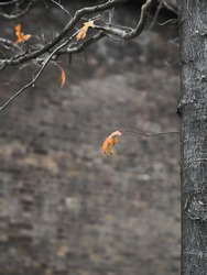 The last of autumn's leaves, gold and orange, cling to the otherwise branches of a grey tree, ahead of a grey wall, bright colours against dreariness.