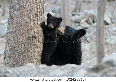 The late black bear mother, Pretty Mama, nurturing her cub