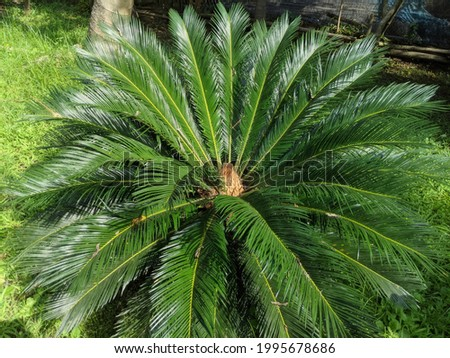 The Latin name of the jambe-fighting flora is Cycas revoluta Thunb.  While in English the antidote for jambe has the name Cycad, and Sago Palm Photo stock ©