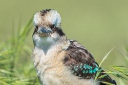 The laughing kookaburra (Dacelo novaeguineae) is a bird in the kingfisher subfamily
