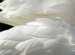 The layered wispy white feathers of a Mute Swan close up