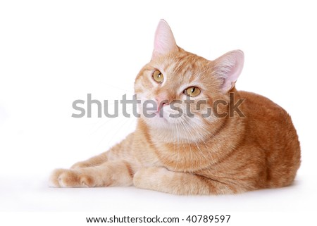 the lazy ginger cat overlies the white background