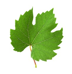 The leaf of grape isolated on white background. Clipping Path. Full depth of field.