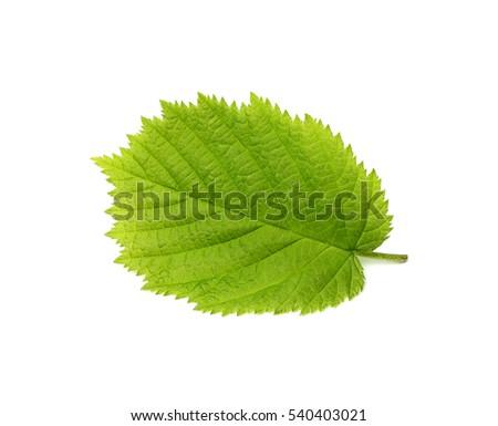 The leaf of hazelnut isolated on a white background.