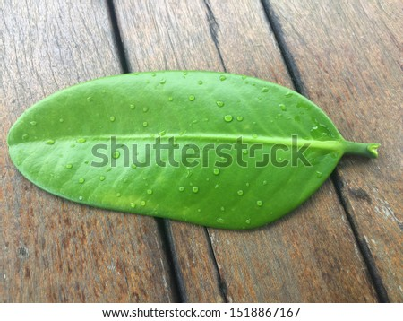 The leaf of the Garginia subelliptica, the happiness tree, or Fukugi Tree .Tree can be grow up to 6–20 meters high with ovate-oblong, or elliptical thick leathery leaves. Fruits are yellow smooth.