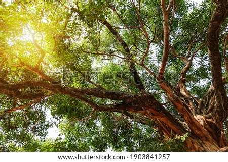 The leaves and branches of the Giant Bodhi tree (Bo Tree, Pipal Tree,Peepul tree,Sacred tree,Sacred fig Tree) in buddhist temple with sunlight in nature, taken in Thailand.