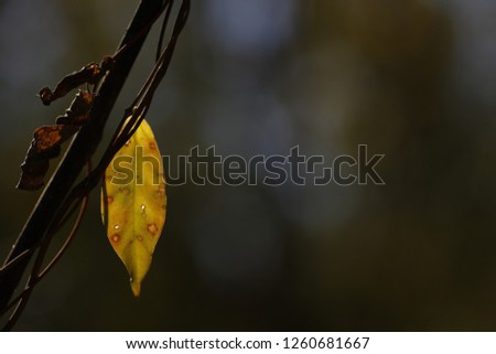 The leaves are turning yellow in the early equatorial winter. #1260681667