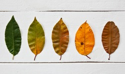 The leaves changing colors from green to brown