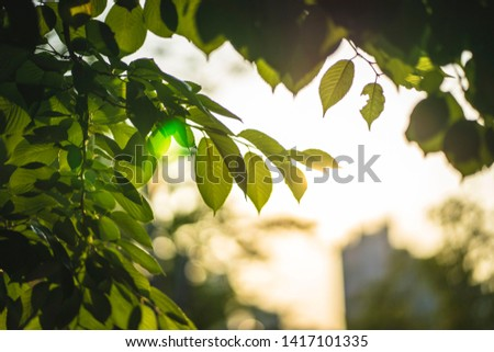 The leaves glisten in the sunset