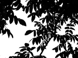 The leaves of a walnut. Silhouette on white background.