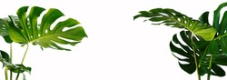 The leaves of Monstera and Fern. The leaves separate the Swiss cheese plant separately on a white background.