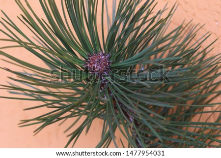 The leaves of Pinus pinea consist of needles, flexible and leathery in consistency
