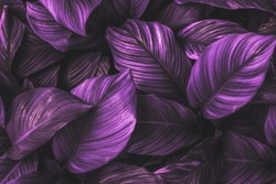 The leaves of Spathiphyllum cannifolium, abstract, dark purple surface, natural background, tropical leaves