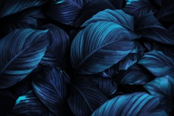 The leaves of Spathiphyllum cannifolium, dark blue abstract surface, natural background, tropical leaves