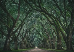 The legendary tree tunnel of the Evergreen Plantation in Vacherie, Louisiana.  These beautiful spanish oak trees have been featured in multiple movies and television shows.