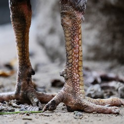 the legs of a rooster with scales and claws