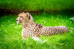 The leopard, also called panther, is a predator from the feline family that is common in much of Africa and Asia. It is the most common large feline.