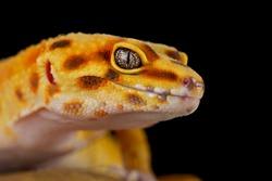 The Leopard gecko (Eublepharis macularius)
