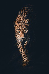 the Leopard with black background