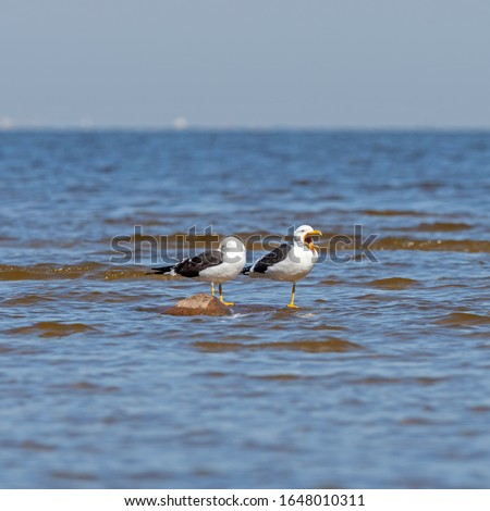 The lesser black-backed gull (Larus fuscus) is a large gull that breeds on the Atlantic coasts of Europe.