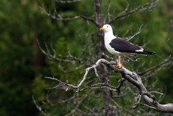 The lesser black-backed gull (Larus fuscus) sitting on a dry branch. Big seagull on a branch with a green background of coniferous trees.A seagull in the Finnish taiga.