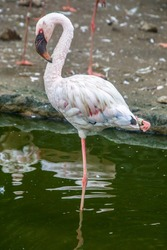 The lesser flamingo (Phoenicoparrus minor) is a species of flamingo occurring in sub-Saharan Africa, with another population in India, may be the most numerous species of flamingo.