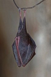 The lesser horseshoe bat (Rhinolophus hipposideros), is a type of European bat related to but smaller than its cousin, the greater horseshoe bat. Hidden