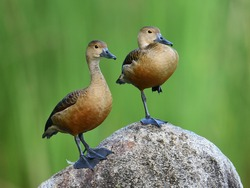 The lesser whistling duck, also known as Indian whistling duck or lesser whistling teal, is a species of whistling duck that breeds in the Indian subcontinent and Southeast Asia.