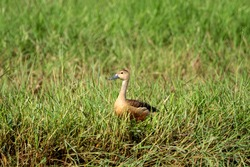 The lesser whistling duck, also known as Indian whistling duck or lesser whistling teal, is a species of whistling duck that breeds in the Indian subcontinent and Southeast Asia