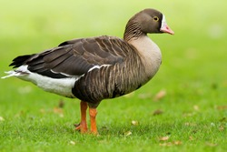The Lesser White-fronted Goose (Anser erythropus) is a goose closely related to the larger White-fronted Goose (A. albifrons).